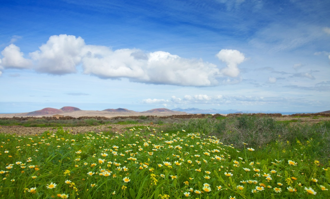 Chrysanthemum coronarium bloom on Fuerteventura after rains of late autumn